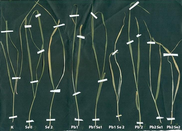 влияние свинца на урожайность пшеницы