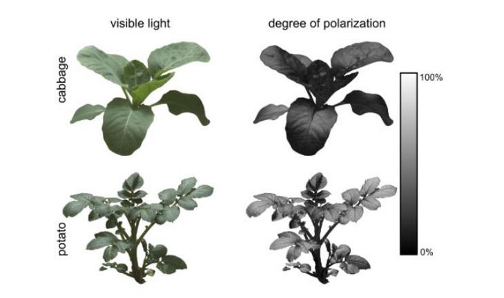 поляризация листьев