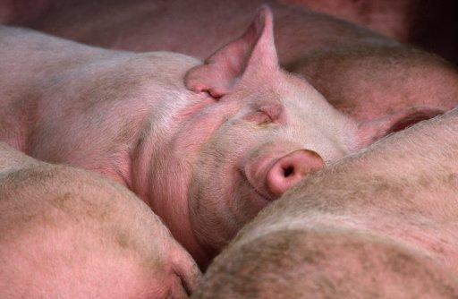 свинья спит