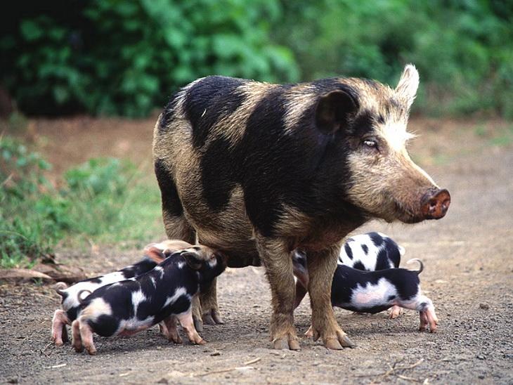 пятнистая свинья с поросятами