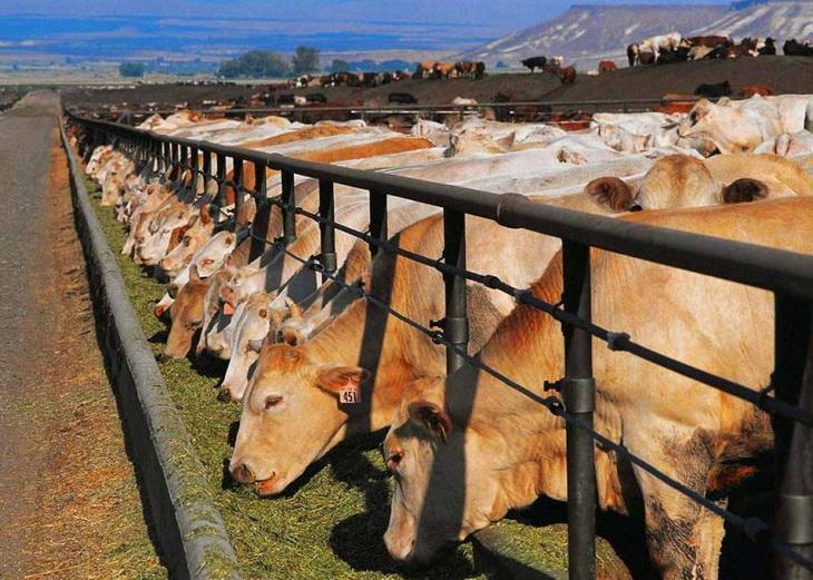 коровы едят корм