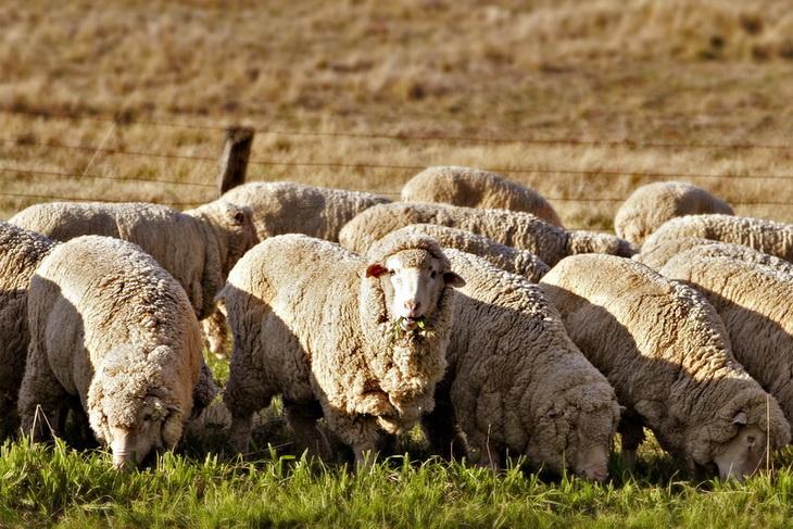 Всероссийская выставка овец в Элисте откроется 19 мая