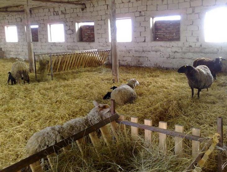 Разведение коз в домашних условиях или на приусадебном участке