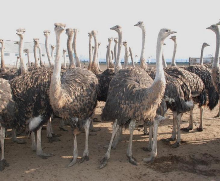 Разведение и содержание страусов — AgroXXI
