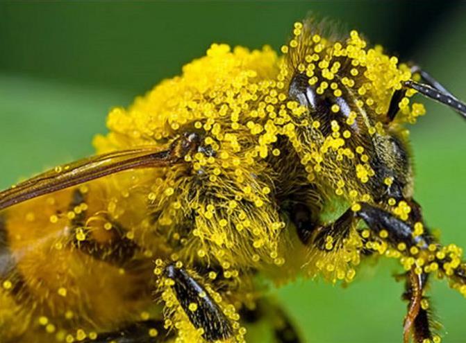 Инвазионные и инфекционные болезни пчел