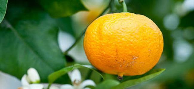 Цветущее апельсиновое дерево