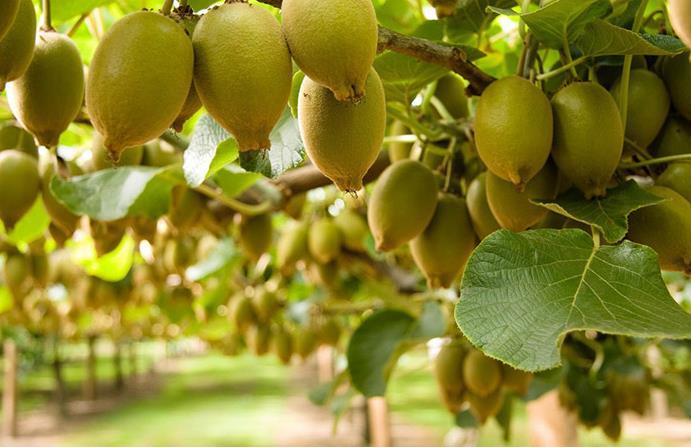 Сезоны фруктов в Черногории по месяцам