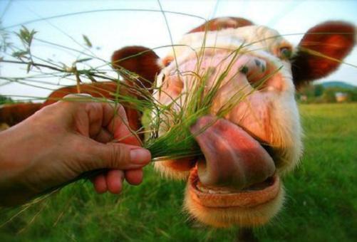 корова ест траву из рук