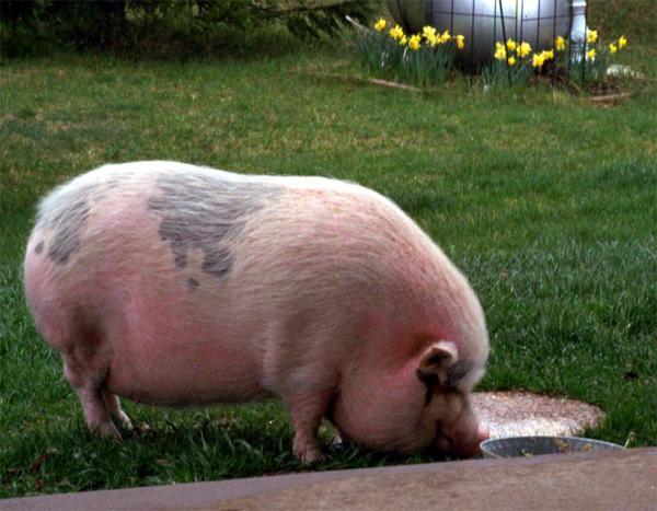 розовая свинья с черными пятнами