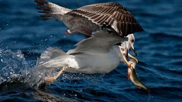 чайки ловят рыбу