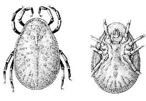 паразиты в трахее человека