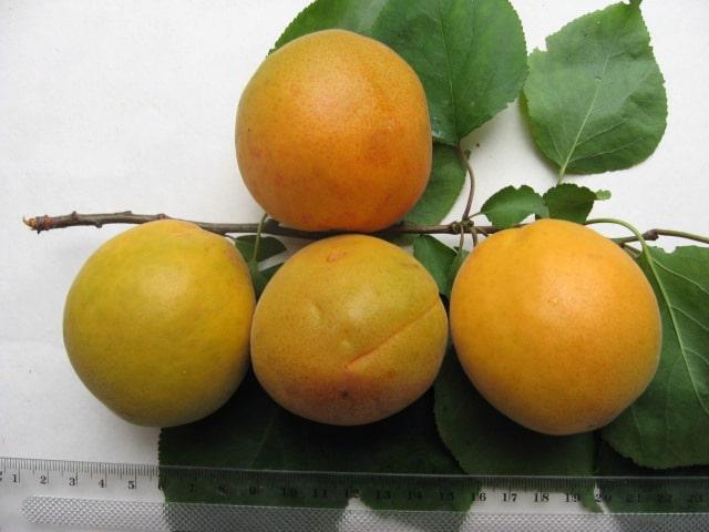 абрикосы магистр