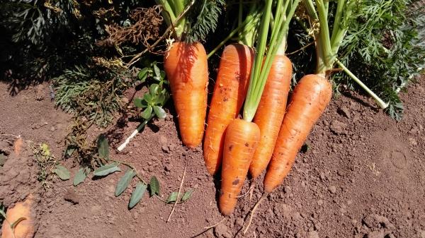 Доска объявлений морковь работа киров свежие вакансии экспедитор