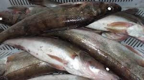 Живая рыба оптом доска объявлений хочу дать бесплатное объявление в баку
