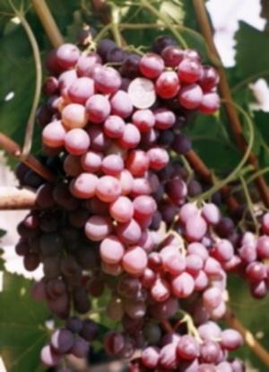 Vineyards in Lucca