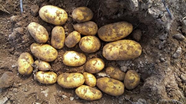 Выращивание элитного картофеля 85