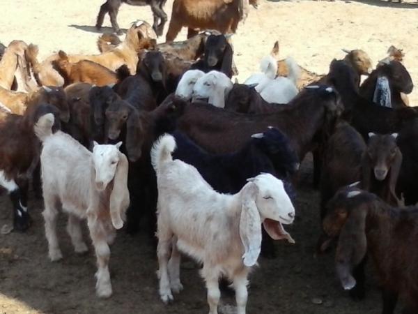 Сперма коз