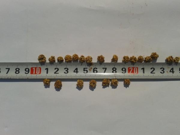 Семена свёклы кормовой сорт экендорская жёлтая.