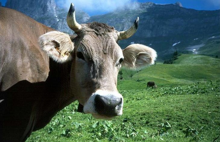 корова в альпах