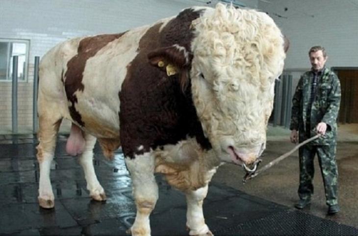 племенной бык