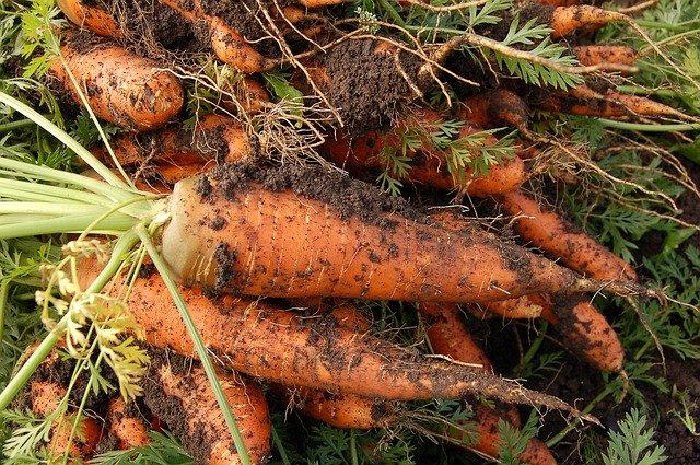 морковь посадка на огороде