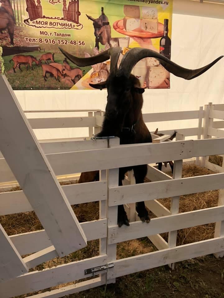 чешская порода коз