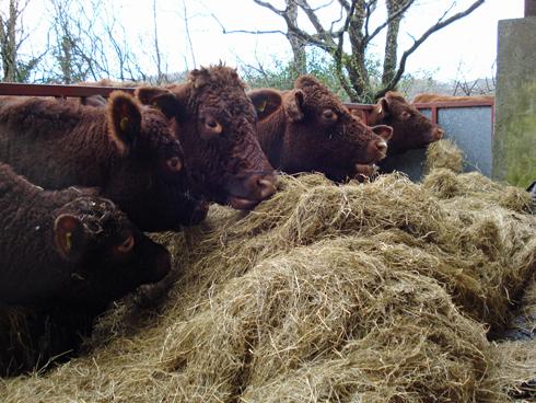 быки едят сено