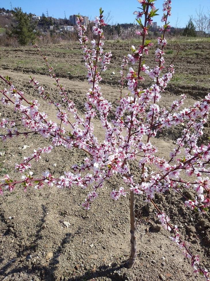 цветущее дерево персика
