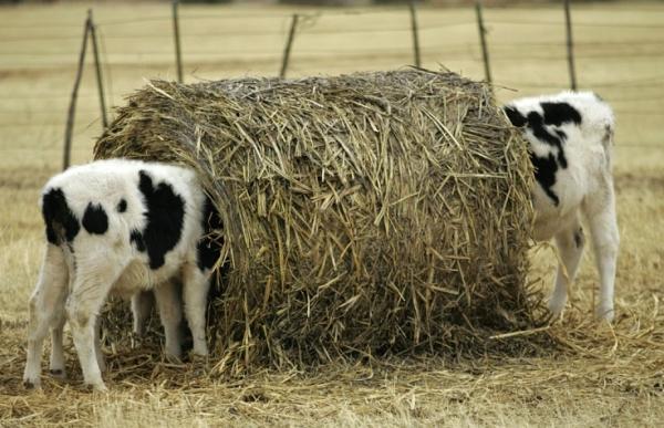 двойня в животноводстве