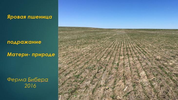ферма бибера яровая пшеница