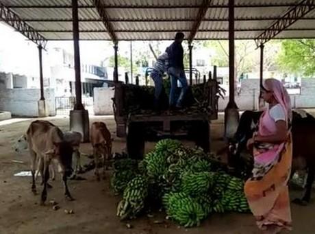 фермеры скормили урожай коровам