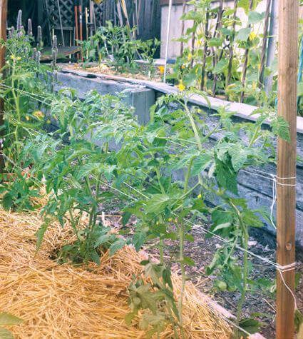 флоридское плетение для томатов