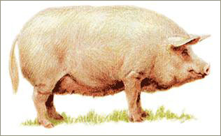 нужны украинская степная белая порода свиней зарплат Оплата