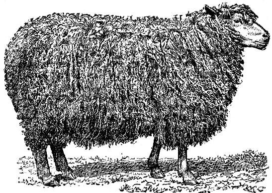 Бараны и овцы картинка