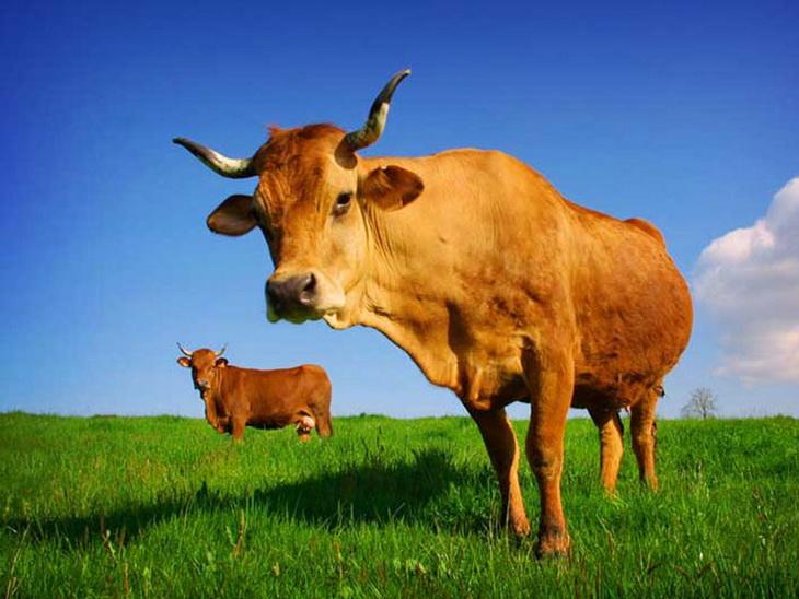 рыжая корова на лугу