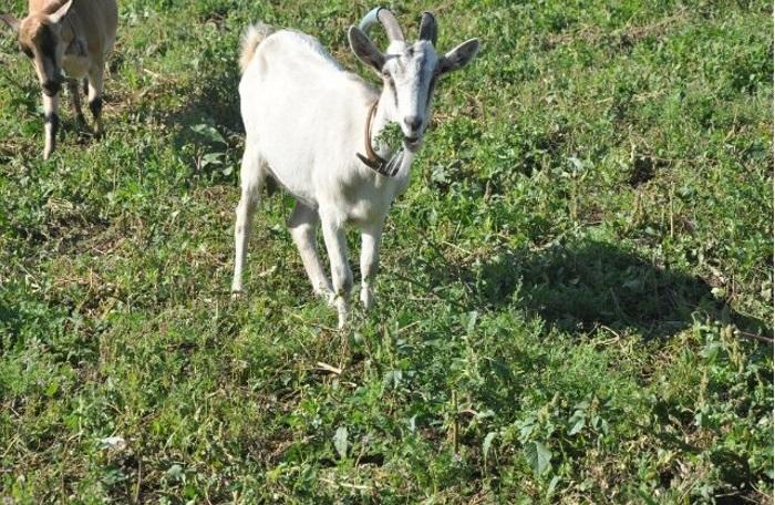коза горьковская фото