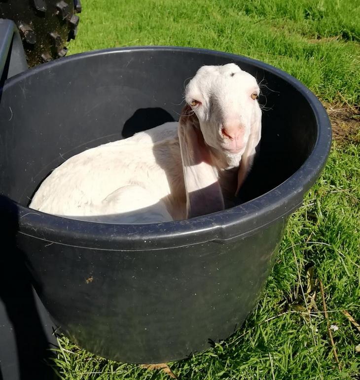 гулаби порода коз