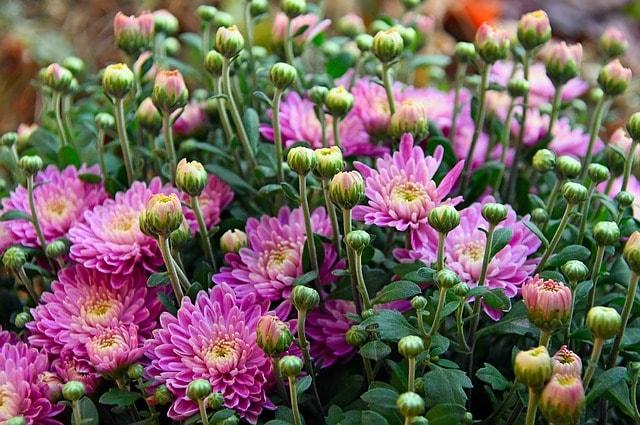 хризантемы как инсектицид