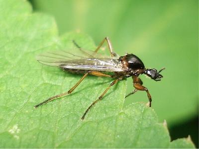 Злаковых мух становится все больше - AgroXXI