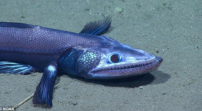 ящероголовая рыба