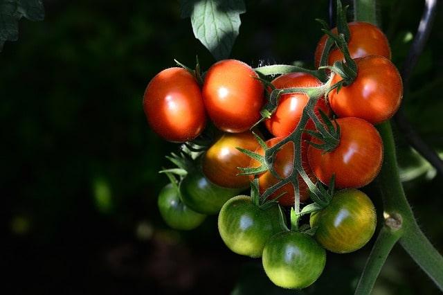 как дозревать помидоры