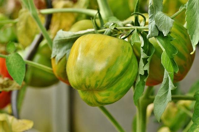 как хранить помидоры зимой