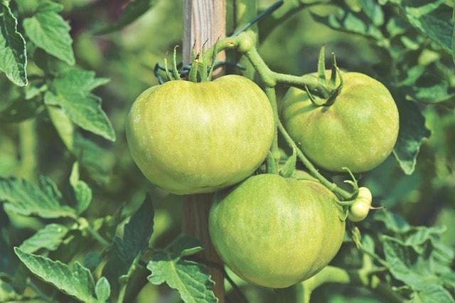 как подвязывать помидоры