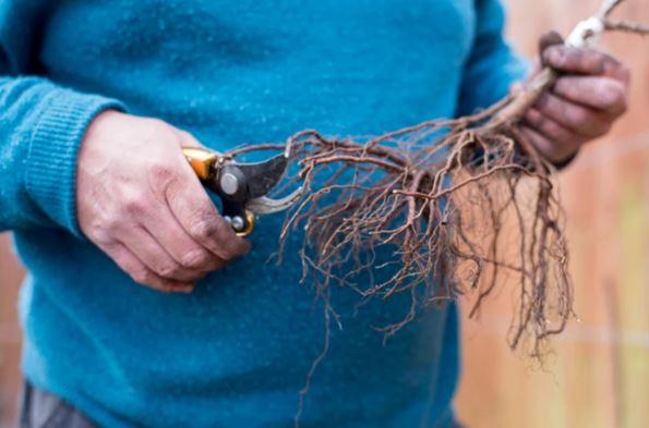 как посадить крыжовник осенью