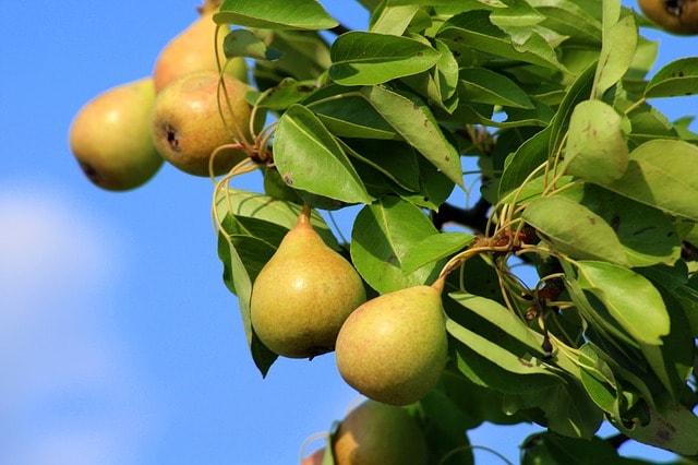 как привить грушу