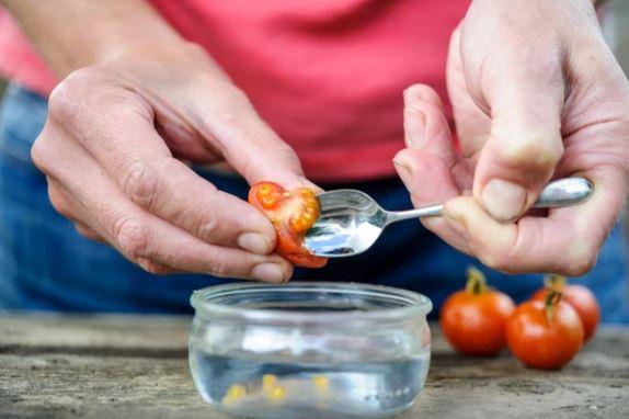 kak-sobirat-semena-pomidorov.jpg