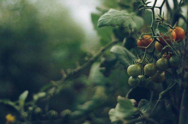 как выбрать сорта помидоров для открытой грядки