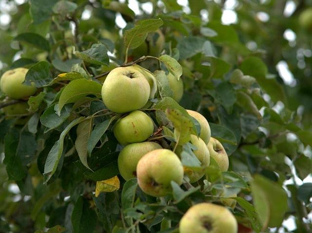как вылечить сломанную ветку яблони