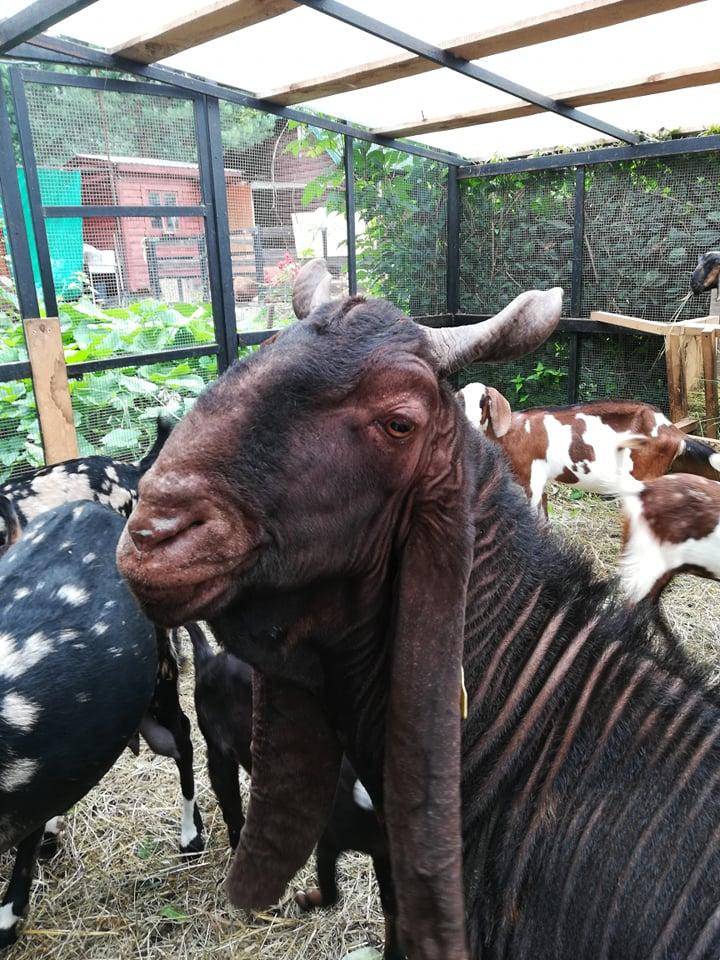 камори козел