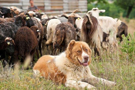 каракачанская порода овчарок